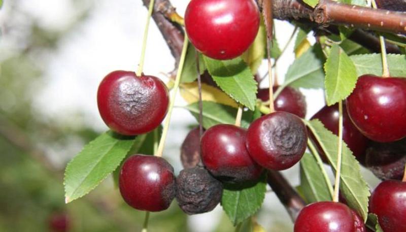 Пятна на листьях вишни ржавые красные коричневые что делать