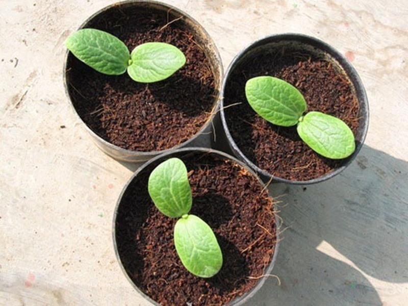 Выращивание рассады тыквы и уход за ней