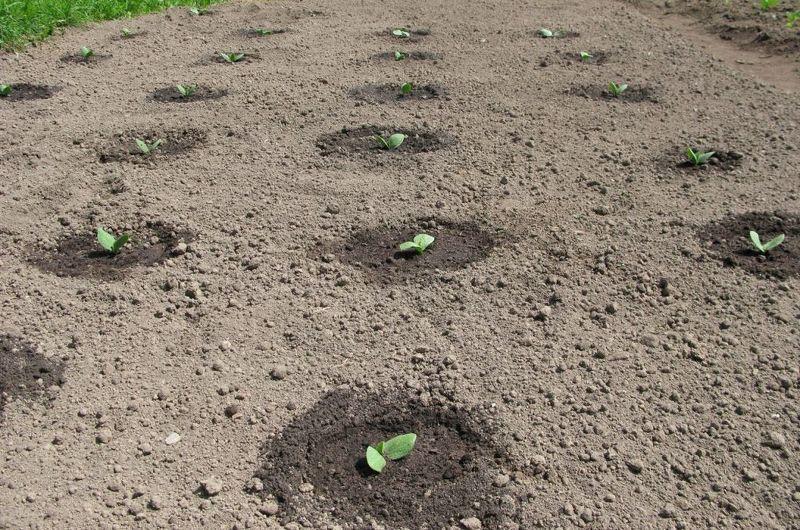 Рассада тыквы после высаживания в открытый грунт