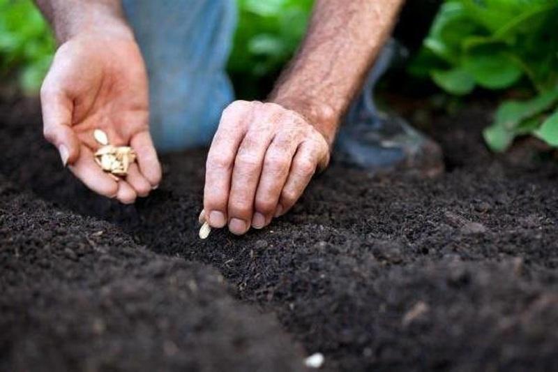Посев тыквы в открытый грунт