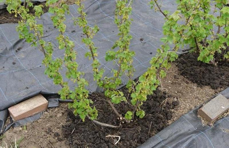 Подкормка кустов смородины органикой