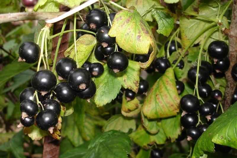 Сорта черной смородины крупноплодные, фото ягод