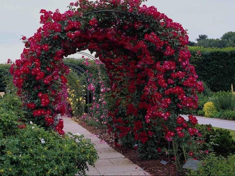 Плетистая роза особенности ухода и содержания
