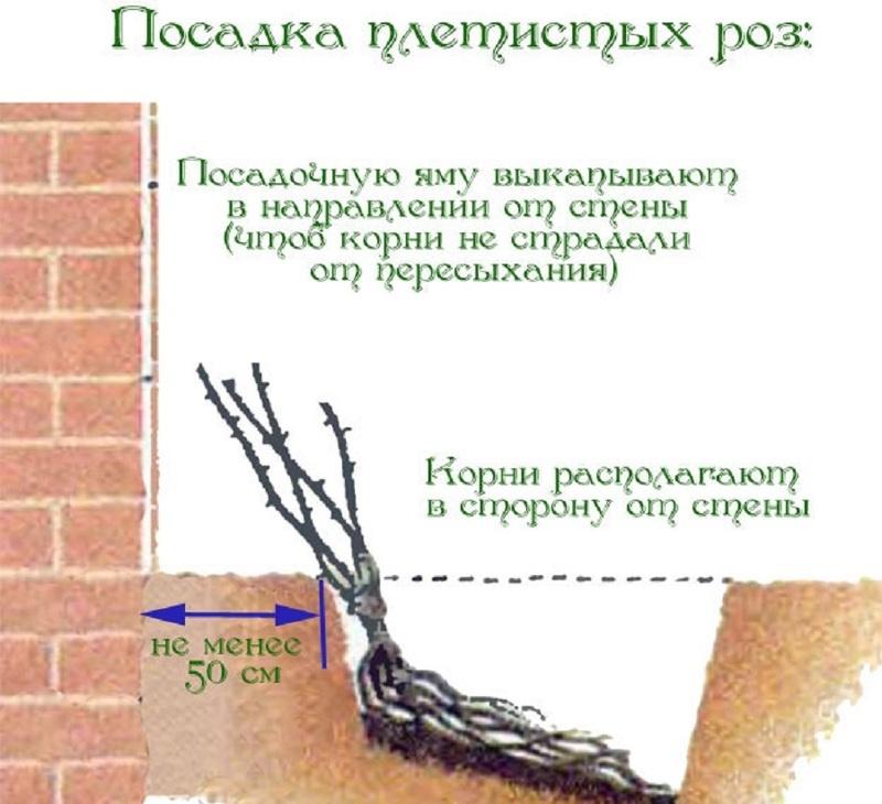 Схема посадки плетистых роз
