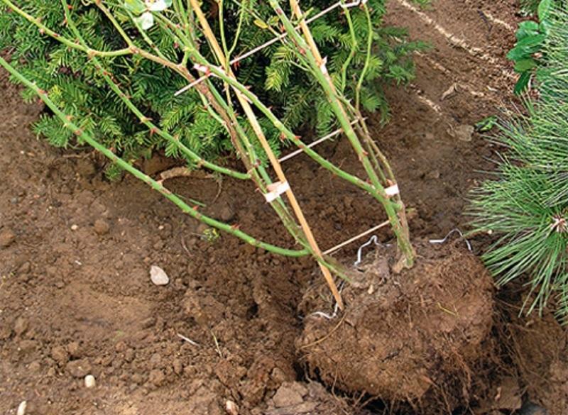 Правильное высаживание плетистой розы