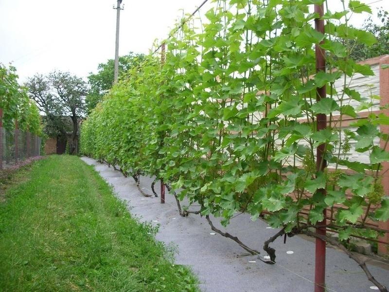 Для винограда из профильной трубы шпалеры