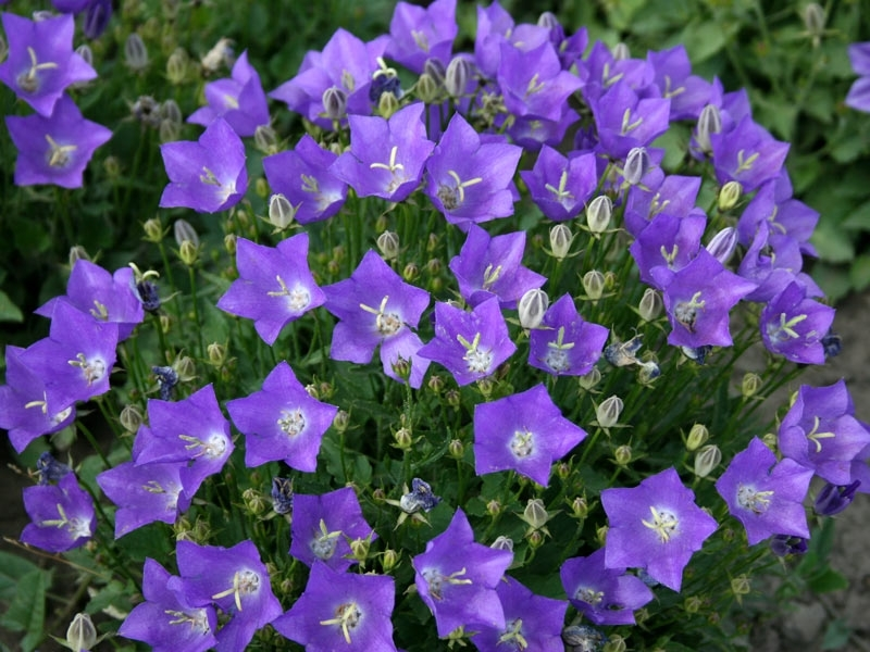Цветы колокольчики популярные виды посадка и уход