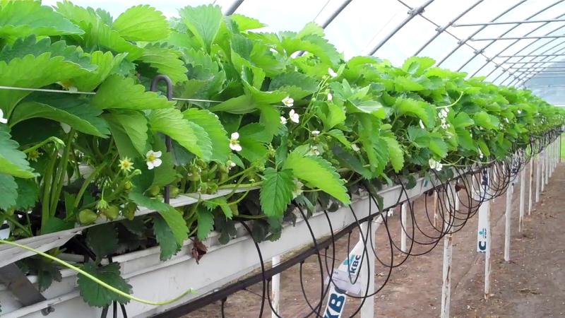 Гидропоника питательный раствор для клубники