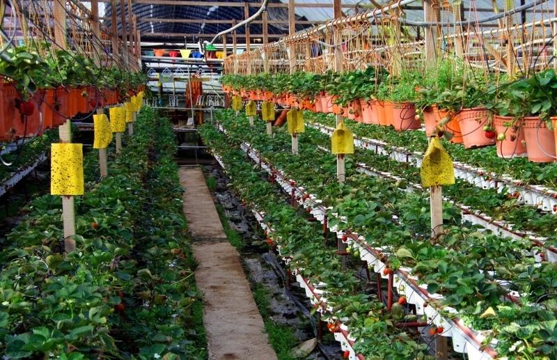 Голландская технология выращивания клубники для сбора урожая круглый год