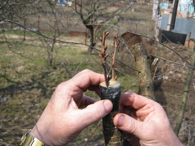 Лучшие способы прививки плодовых деревьев весной