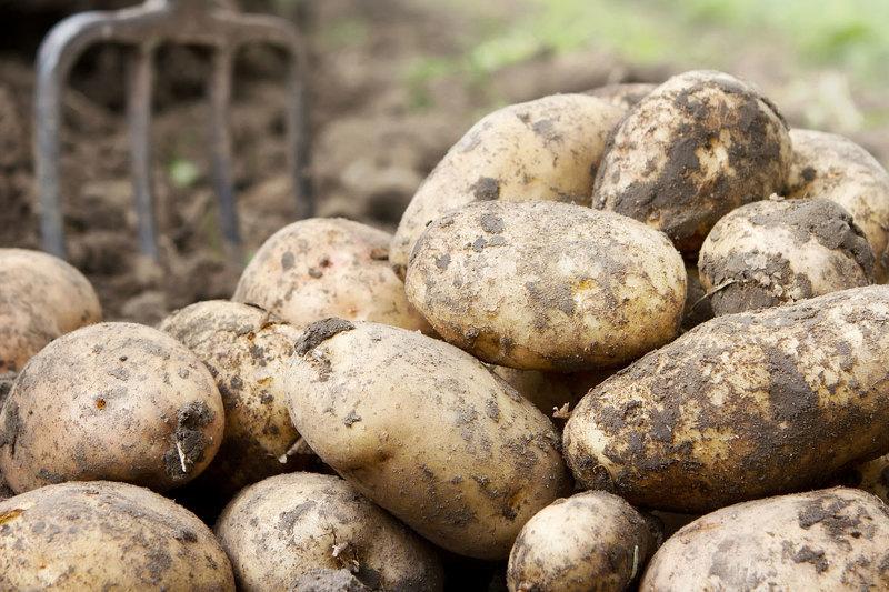 Как вырастить ведро картошки с одного куста норма высева на 1 га и сотку