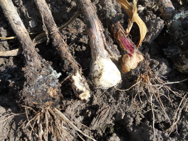 Гниение луковиц чеснока пораженных клещом