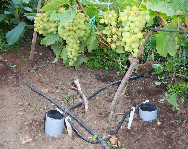 Дренажные трубы для полива и подкормки винограда