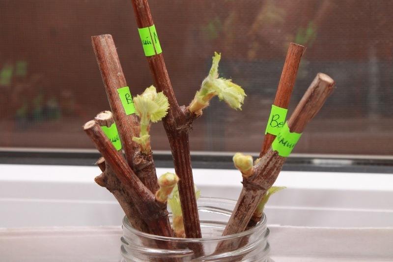 Черенки разных сотров винограда для прививки весной
