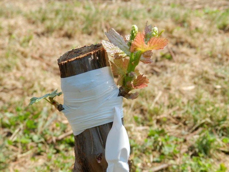 Как прививать виноград весной - АгрономWiki