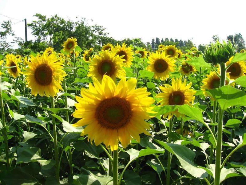 Декоративный подсолнух выращивание из семян посадка и уход в открытом грунте