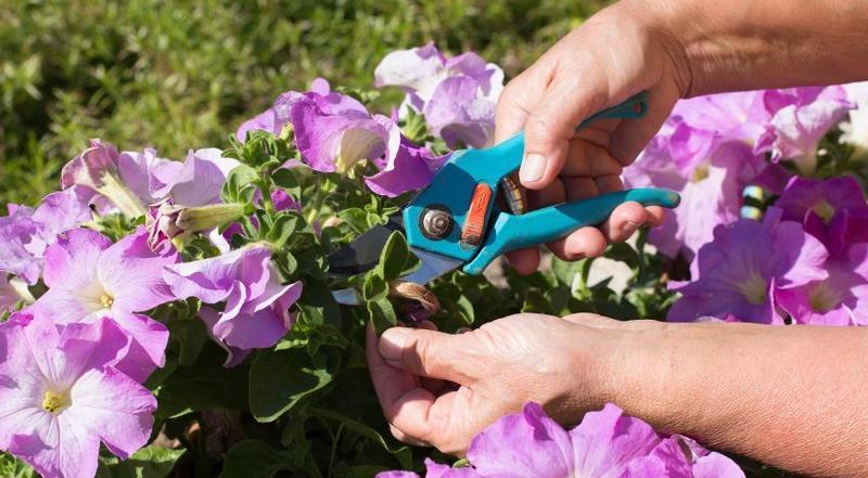 Уход за петунией в саду