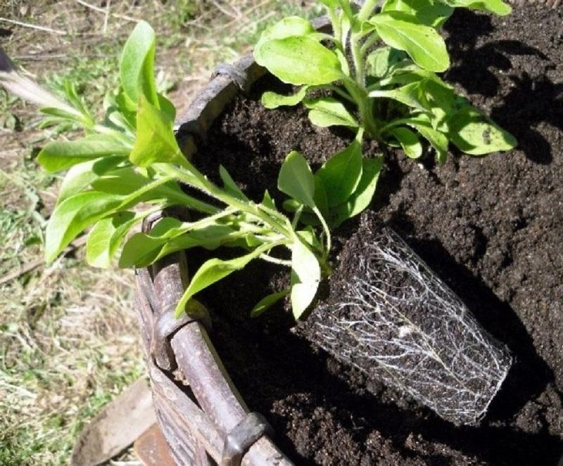 Посадка петунии в саду