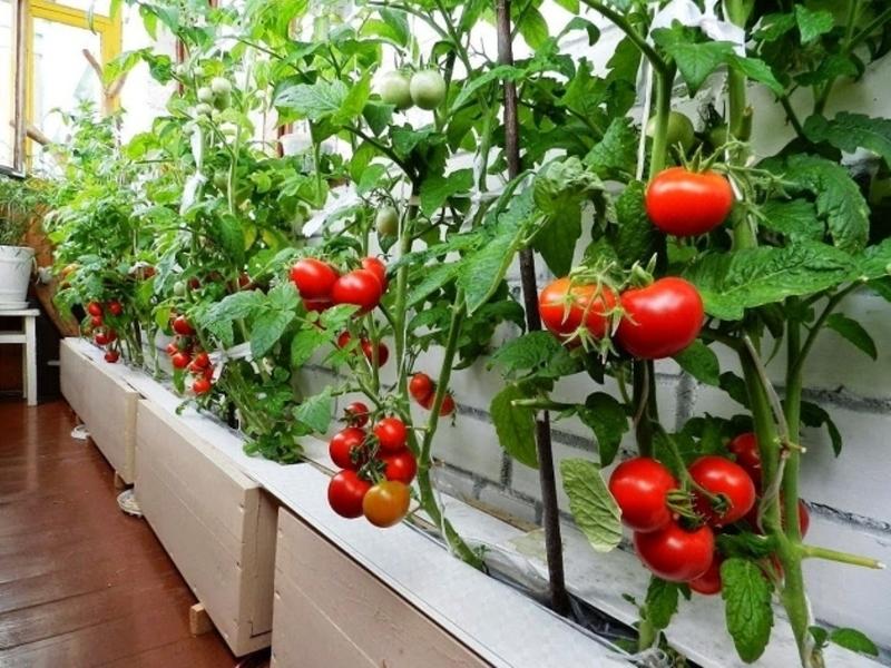 Как выращивать овощи на балконе.