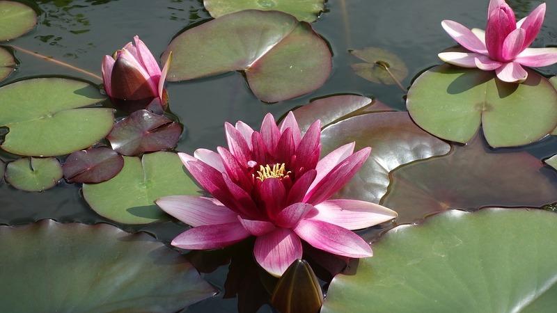 Семена водяной лилии как сажать