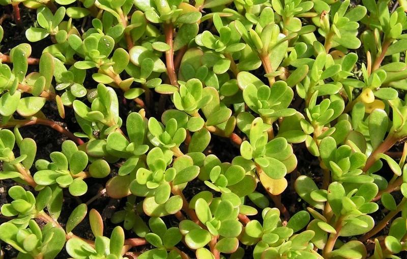 Портулак огородный: полезные свойства и вред, применение, выращивание
