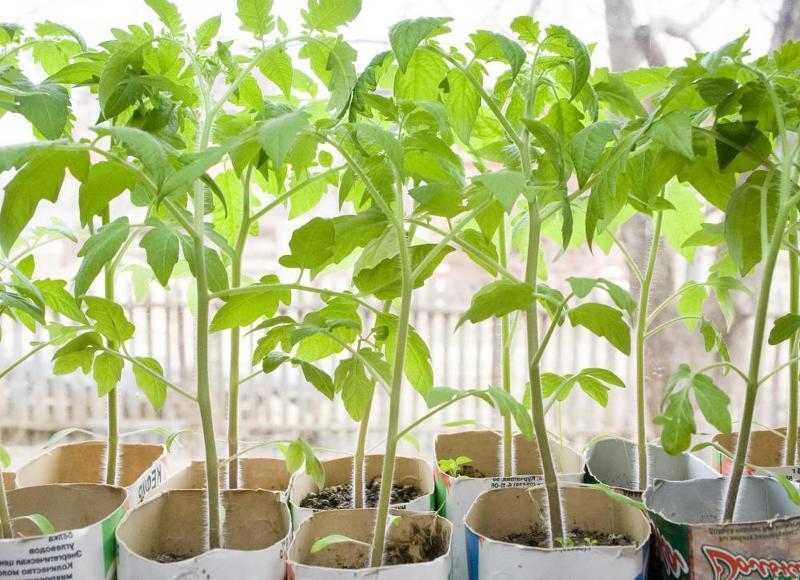 Рано посадили рассаду и она перерастает - спасаем овощные культуры