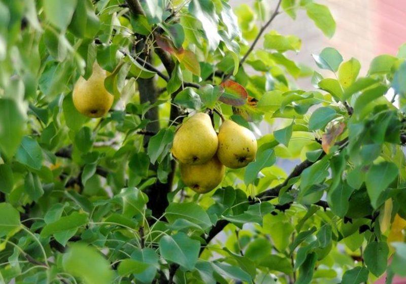 Секреты осенней посадки груши в саду