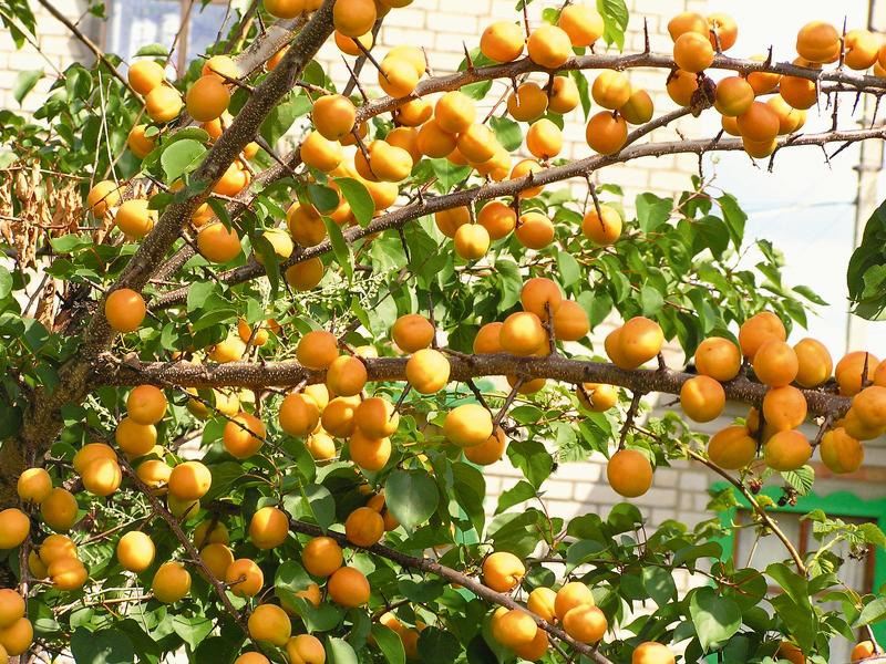 Как выглядят саженцы абрикоса