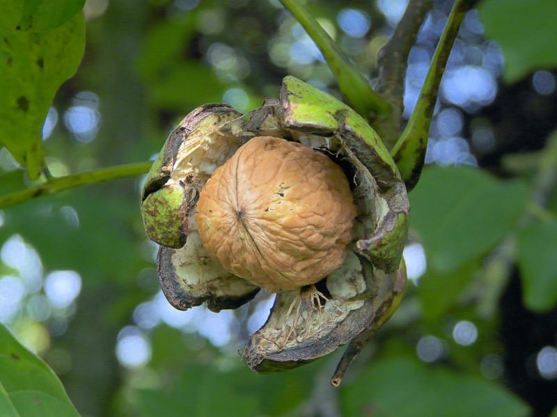 Грецкий орех в Подмосковье - выращивание