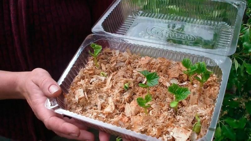 Как посадить огурцы в опилки на рассаду