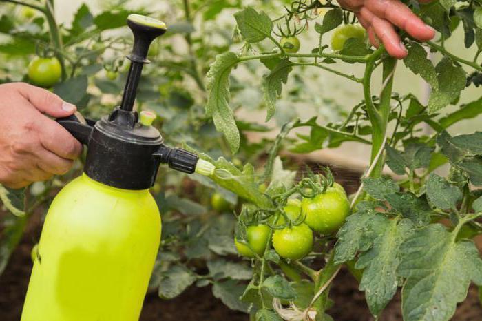 Трихопол для помидоров: как обрабатывать рассаду, как разводить и опрыскивать