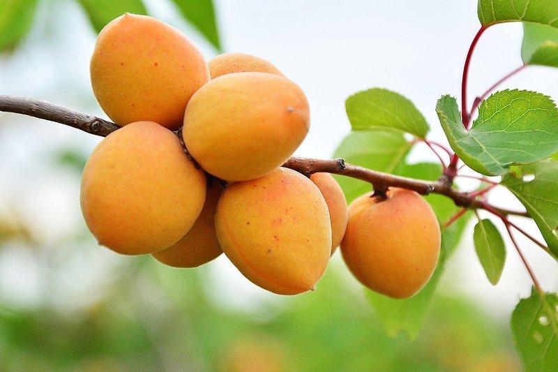 Родиной абрикоса считается солнечная Армения