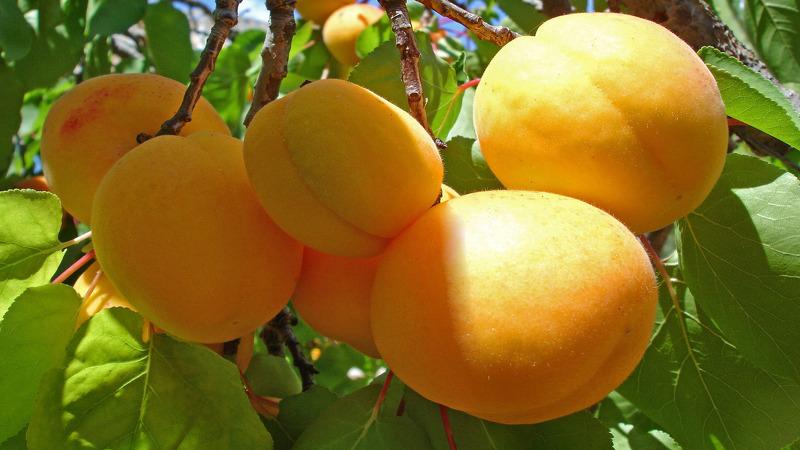 Абрикос Северный Триумф - хороший урожай