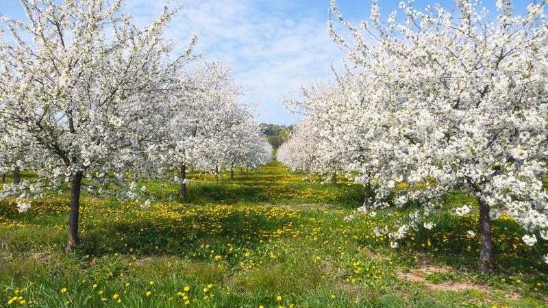 Абрикосовый сад: особенности выращивания