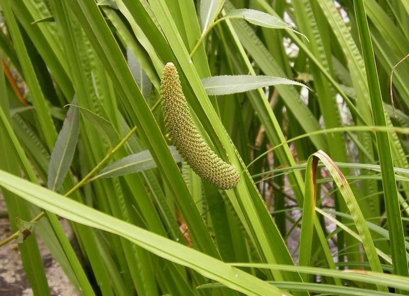 Аир обыкновенный не цветет, но очень приятно пахнет и очищает воду