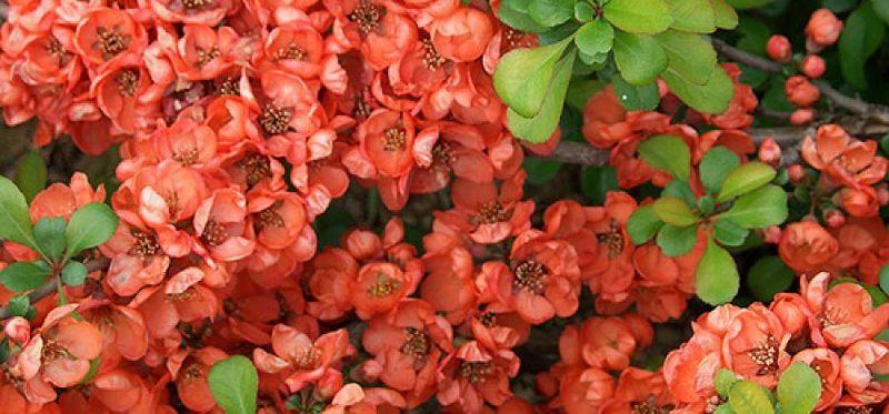 Хеномелес великопен в период цветения