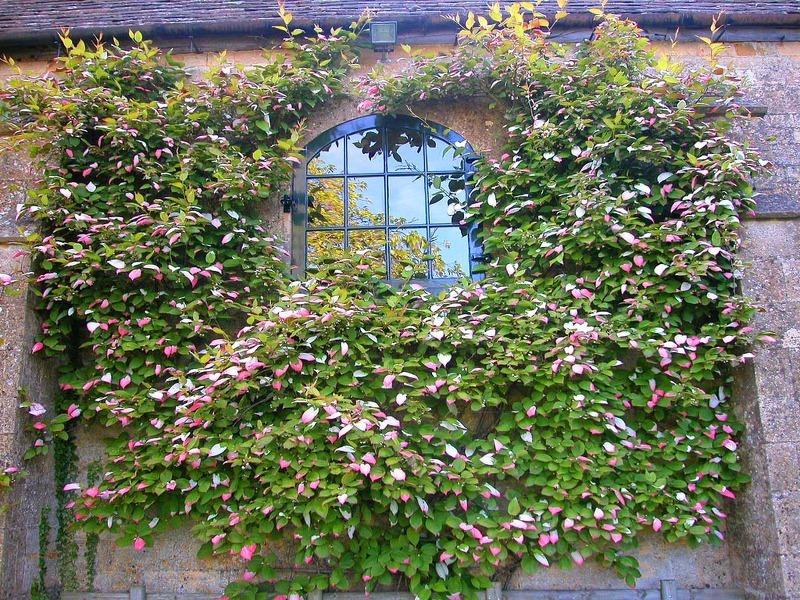 Листва актинии отличается декоративностью, и красиво подчеркнет экстерьер дачного или загородного дома