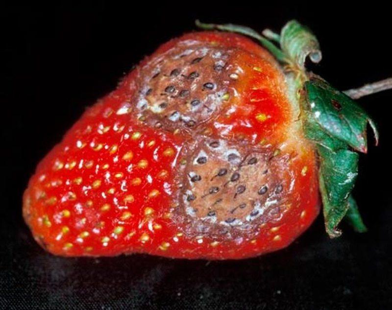 Признаки Антракноза на ягодах клубники