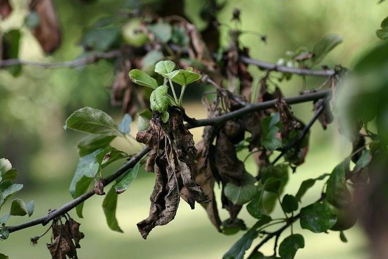 Бактериальный ожог листьев яблони