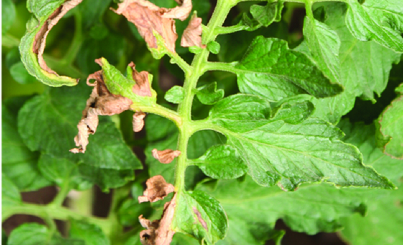 Скручивание и отмирание листа помидоров от бактериального рака