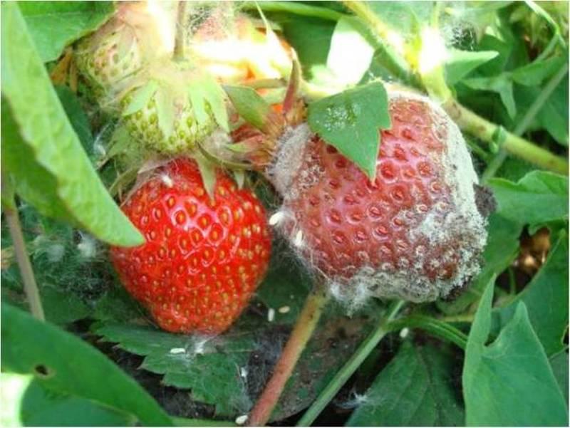 Белая гниль на ягодах клубники