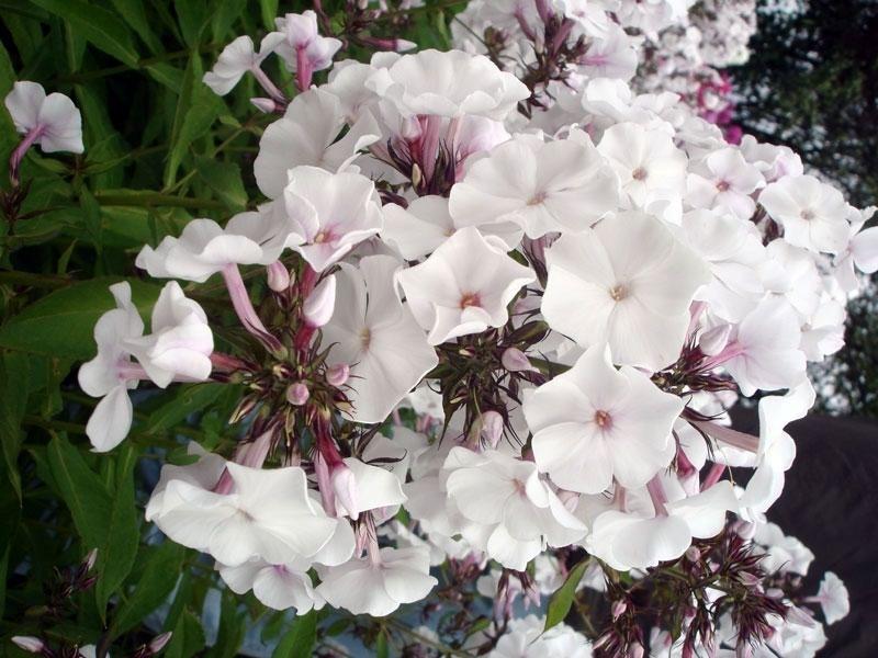 Бело-розовые цветки флокса Белоснежка украсят любой участок