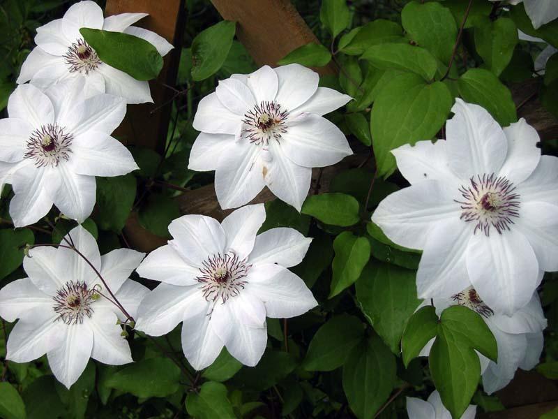 Белый клематис сорта Мисс Беймен цветет до самых заморозков