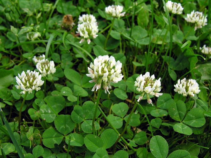 Белый клевер ползучий в период цветения