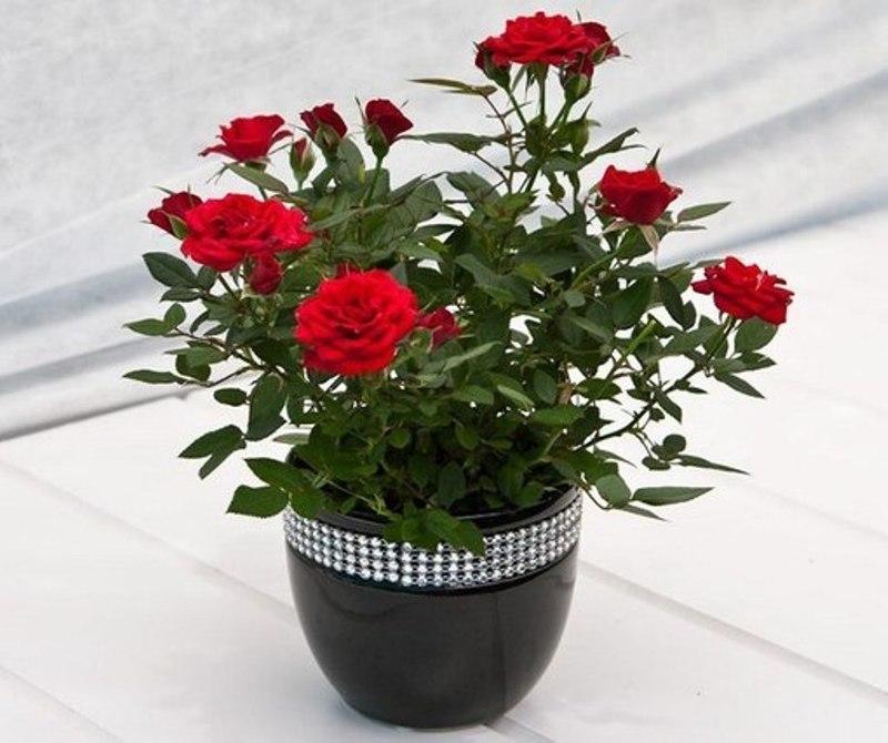 домашняя кустовая роза