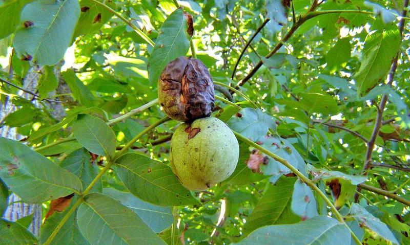 Болезни грецкого ореха могут привести к полной потере урожая