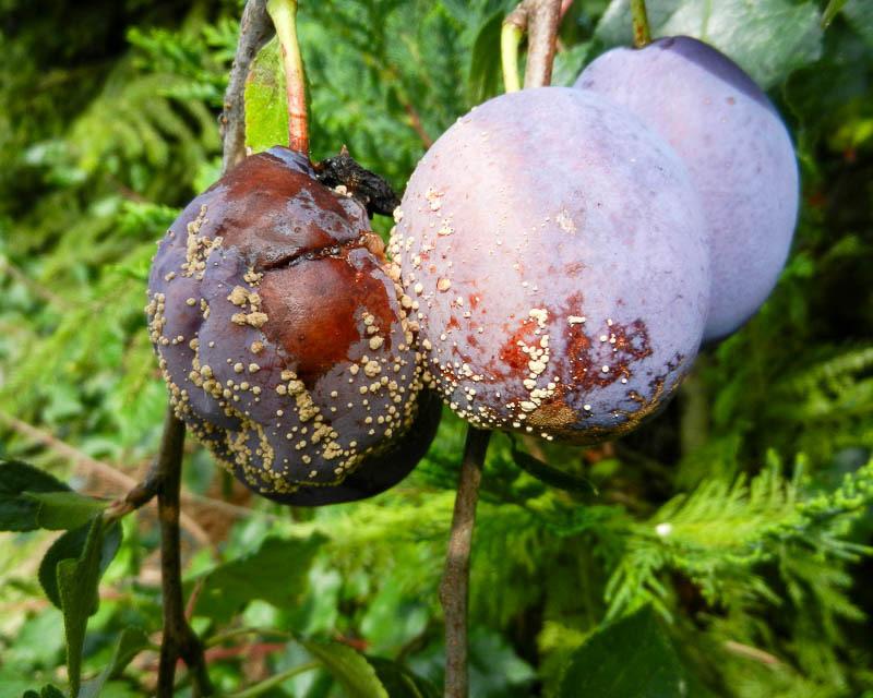 Болезни плодов сливы - монилиоз