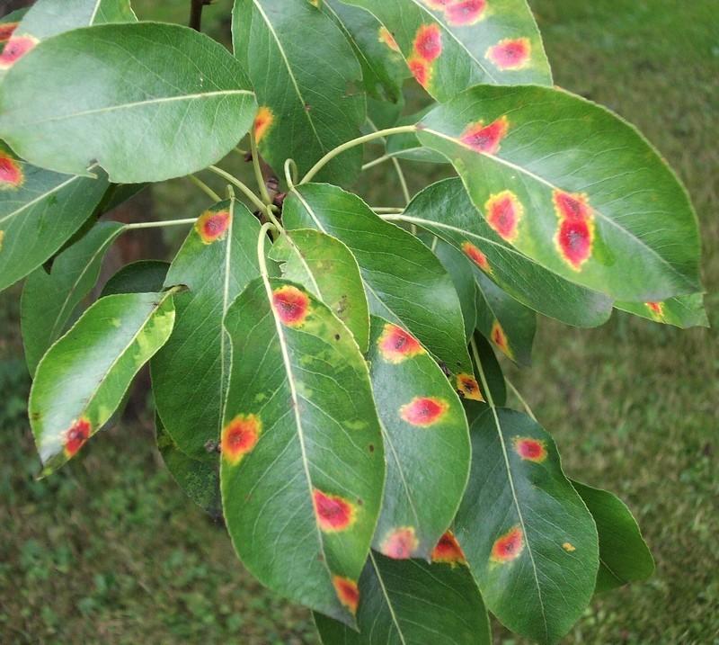 Болезни вишни - коккомикоз на листьях