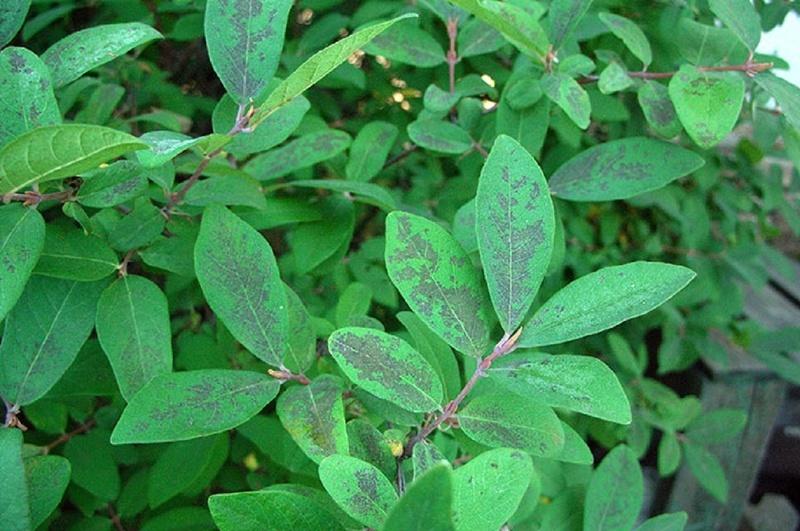 Крапчатость листьев жимолости переносится нематодами