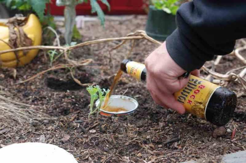 Как бороться со слизняками в огороде с помощью пивных ловушек